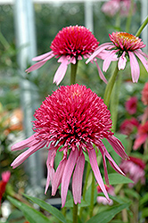 Double Scoop™ Bubble Gum Coneflower (Echinacea 'Balscblum') at Bedford Fields