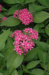 Egyptian Star Flower (Pentas lanceolata) at Bedford Fields