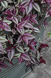 Wandering Jew (Tradescantia zebrina) at Bedford Fields