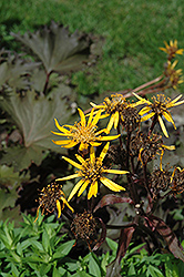 Osiris Cafe Noir Rayflower (Ligularia 'Osiris Cafe Noir') at Bedford Fields