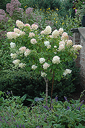 Limelight Hydrangea (tree form) (Hydrangea paniculata 'Limelight (tree form)') at Bedford Fields