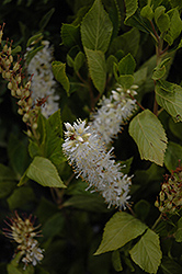 Sugartina® Summersweet (Clethra alnifolia 'Crystalina') at Bedford Fields