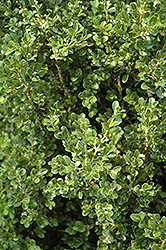 Cranberry Creek Boxwood (Buxus 'Cranberry Creek') at Bedford Fields