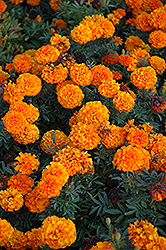 Taishan Orange Marigold (Tagetes erecta 'Taishan Orange') at Bedford Fields