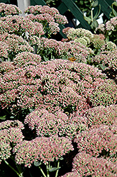 Autumn Fire Stonecrop (Sedum spectabile 'Autumn Fire') at Bedford Fields