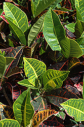 Variegated Croton (Codiaeum variegatum) at Bedford Fields