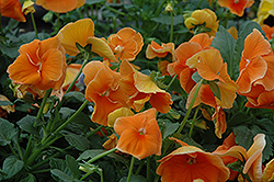 Delta Pure Deep Orange Pansy (Viola x wittrockiana 'Delta Pure Deep Orange') at Bedford Fields