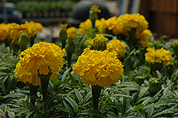 Safari Yellow Marigold (Tagetes patula 'Safari Yellow') at Bedford Fields