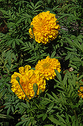 Jedi Deep Gold Marigold (Tagetes erecta 'Jedi Deep Gold') at Bedford Fields