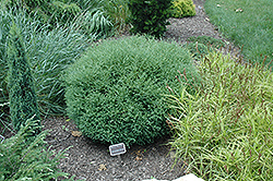 Mr. Bowling Ball Arborvitae (Thuja occidentalis 'Bobazam') at Bedford Fields