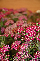 New Vintage Violet Yarrow (Achillea millefolium 'Balvinolet') at Bedford Fields