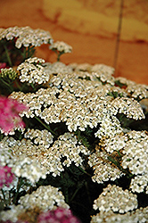 New Vintage White Yarrow (Achillea millefolium 'Balvinwite') at Bedford Fields