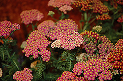 New Vintage Rose Yarrow (Achillea millefolium 'Balvinrose') at Bedford Fields