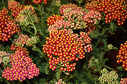New Vintage Red Yarrow (Achillea millefolium 'Balvinred') at Bedford Fields