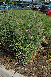 Ruby Ribbons Switch Grass (Panicum virgatum 'Ruby Ribbons') at Bedford Fields