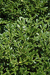 Franklin's Gem Boxwood (Buxus microphylla 'Franklin's Gem') at Bedford Fields