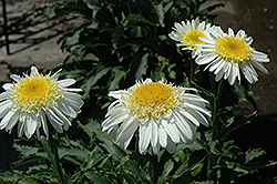 Real Glory Shasta Daisy (Leucanthemum x superbum 'Real Glory') at Bedford Fields