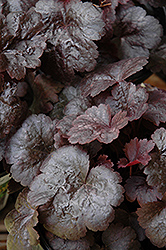 Gotham Coral Bells (Heuchera 'Gotham') at Bedford Fields