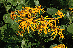 Othello Rayflower (Ligularia dentata 'Othello') at Bedford Fields