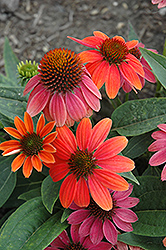 Sombrero® Hot Coral Coneflower (Echinacea 'Balsomcor') at Bedford Fields