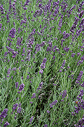 SuperBlue Lavender (Lavandula angustifolia 'SuperBlue') at Bedford Fields