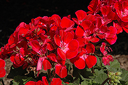 Savannah Ruby Sizzle Geranium (Pelargonium 'Savannah Ruby Sizzle') at Bedford Fields