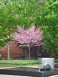Eastern Redbud (tree form) (Cercis canadensis '(tree form)') at Bedford Fields