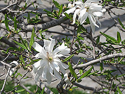 Royal Star Magnolia (Magnolia stellata 'Royal Star') at Bedford Fields