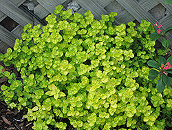 Golden Oregano (Origanum vulgare 'Aureum') at Bedford Fields