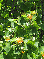 Tuliptree (Liriodendron tulipifera) at Bedford Fields