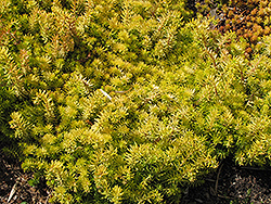 Angelina Stonecrop (Sedum rupestre 'Angelina') at Bedford Fields