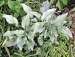 Silver Bouquet Lungwort (Pulmonaria 'Silver Bouquet') at Bedford Fields