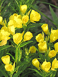Sundrops (Oenothera fruticosa) at Bedford Fields