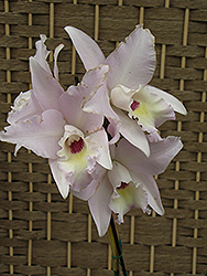 Maui Beauty Cattleya Orchid (Cattleya dubescens 'Maui Beauty') at Bedford Fields