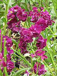 Stock (Matthiola incana) at Bedford Fields