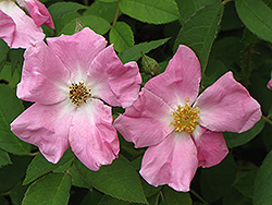 Rugosa Rose (Rosa rugosa) at Bedford Fields