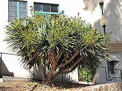 Dragon Tree (shrub form) (Dracaena draco (shrub form)) at Bedford Fields