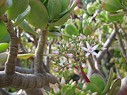 Jade Plant (Crassula ovata) at Bedford Fields