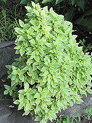 Lemon Basil (Ocimum x citriodorum 'Perpetual Pesto') at Bedford Fields