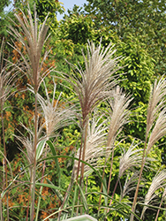 Variegated Silver Grass (Miscanthus sinensis 'Variegatus') at Bedford Fields