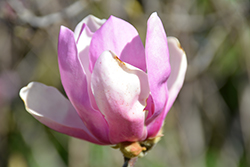 Jane Magnolia (Magnolia 'Jane') at Bedford Fields
