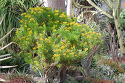 Succulent Bush Senecio (Senecio barbertonicus) at Bedford Fields