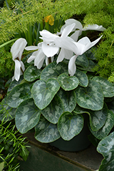 Halios HD Pure White Cyclamen (Cyclamen 'Halios HD Pure White') at Bedford Fields