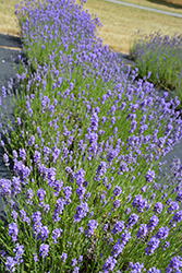 Hidcote Blue Lavender (Lavandula angustifolia 'Hidcote Blue') at Bedford Fields