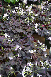 Purple Shamrock (Oxalis triangularis) at Bedford Fields