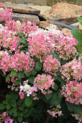 Little Quick Fire® Hydrangea (Hydrangea paniculata 'SMHPLQF') at Bedford Fields