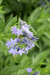 Blue Ice Star Flower (Amsonia tabernaemontana 'Blue Ice') at Bedford Fields