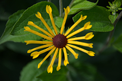 Henry Eilers Coneflower (Rudbeckia subtomentosa 'Henry Eilers') at Bedford Fields