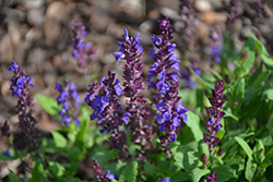 New Dimension™ Blue Sage (Salvia nemorosa 'PAS889972') at Bedford Fields