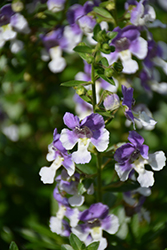 Angelface® Wedgewood Blue Angelonia (Angelonia angustifolia 'Angelface Wedgewood Blue') at Bedford Fields